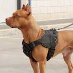 Уход за бойцовскими собаками: стоит ли покупать шлейку?